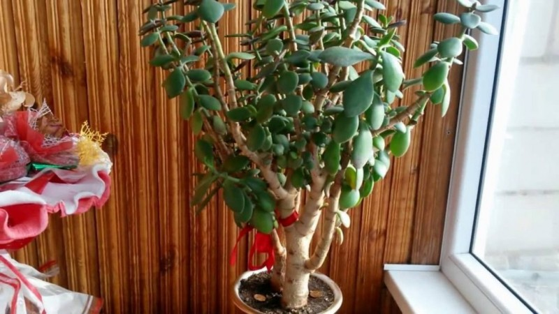 Какие приметы и суеверия о Денежном дереве толстянке вы знаете, можно ли растение держать дома