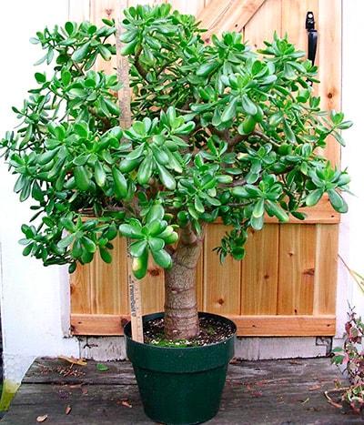 Можно ли денежное дерево держать в спальне