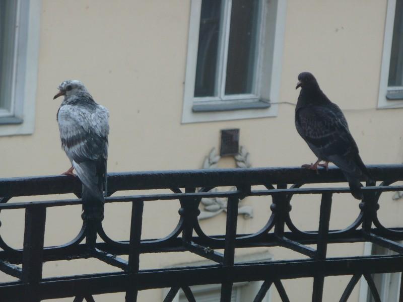 В окно бился голубь: к чему бы это