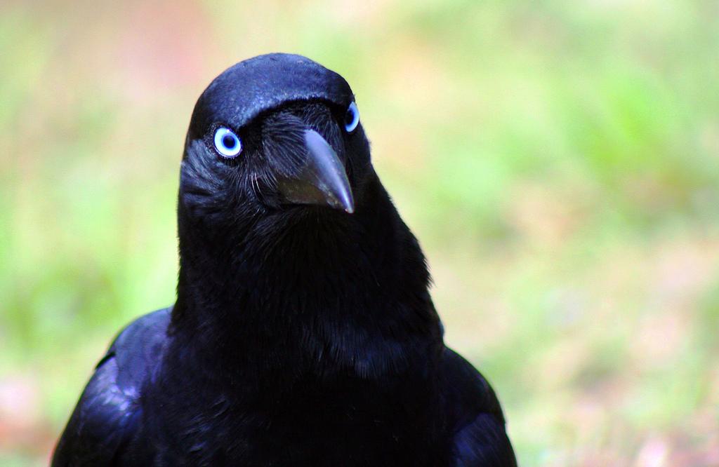 Смешные фотографии вороны